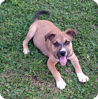Hound (Unknown Type) Mix Puppy for adoption in Warwick, Rhode Island - Edward