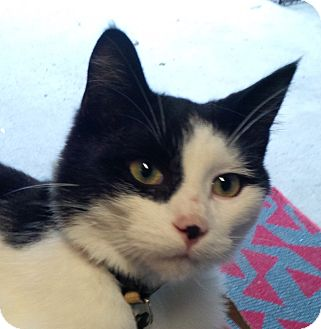 Domestic Shorthair Cat for adoption in Sterling Hgts, Michigan - Pirate Pizazz