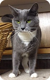 Domestic Shorthair Cat for adoption in Linden, New Jersey - Stella