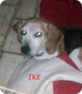 Beagle Dog for adoption in Ventnor City, New Jersey - IKE
