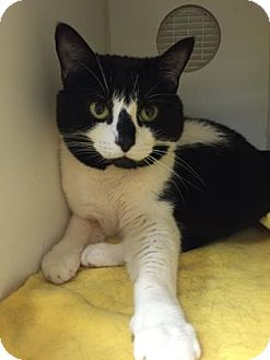 Domestic Shorthair Cat for adoption in Lowell, Massachusetts - Trinna