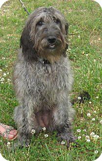 Poodle (Standard)/Basenji Mix Dog for adoption in Marlborough, Massachusetts - Daisy - Super Sweet!