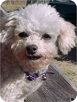 Tea Cup Poodle Dog for adoption in Rutherfordton, North Carolina - Mon Ami