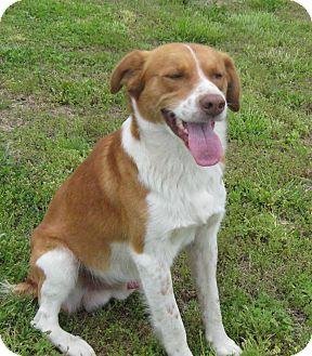Collie/Australian Shepherd Mix Dog for adoption in Marlborough, Massachusetts - Rusty-Best Dog Ever!