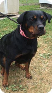 Rottweiler Dog for adoption in Cadiz, Ohio - MARTHA