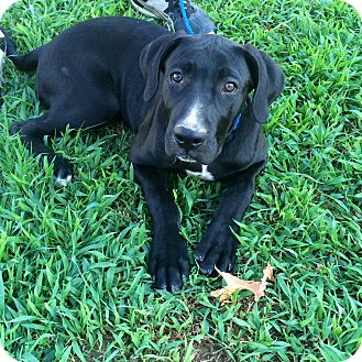 Great Dane/Labrador Retriever Mix Puppy for adoption in Hagerstown, Maryland - Dax