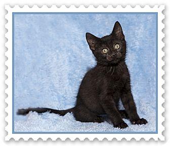 Domestic Shorthair Kitten for adoption in Mt. Prospect, Illinois - Keith