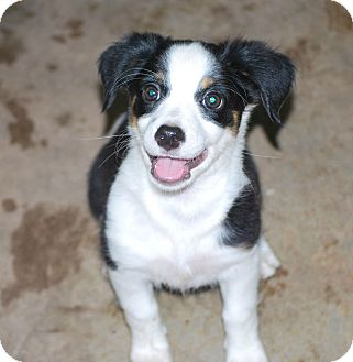 Chihuahua/Schnauzer (Miniature) Mix Puppy for adoption in Jennings, Oklahoma - Lilly