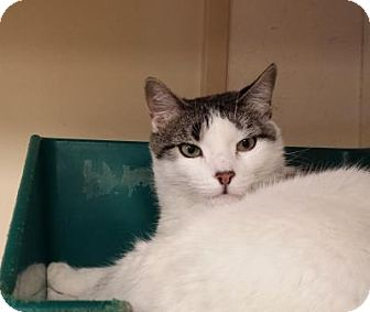 Domestic Shorthair Cat for adoption in Grand Junction, Colorado - Ruby