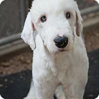 Adopt A Pet :: Russell - Norwalk, CT
