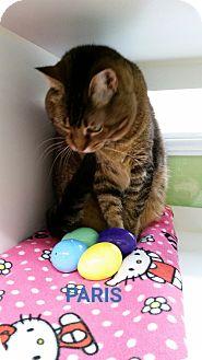 Domestic Shorthair Cat for adoption in Muskegon, Michigan - paris