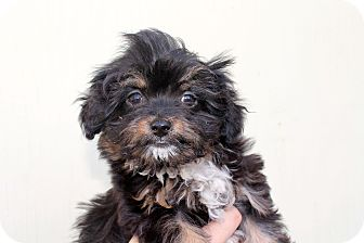 Lhasa Apso Mix Puppy for adoption in Los Angeles, California - Cozette