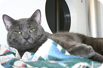 Domestic Shorthair Cat for adoption in Olympia, Washington - 39069