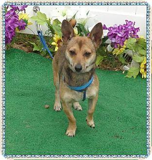 Chihuahua Mix Dog for adoption in Marietta, Georgia - JONAS (R)