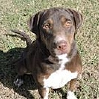 Labrador Retriever Mix Dog for adoption in Cottonport, Louisiana - Duchess