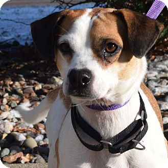 Jack Russell Terrier Mix Dog for adoption in Minneapolis, Minnesota - Linus