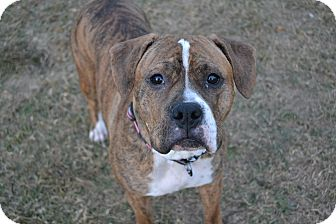 Boxer Mix Dog for adoption in Lancaster, Pennsylvania - Presley