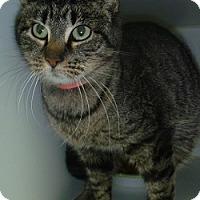 Adopt A Pet :: Little Sabre - Hamburg, NY