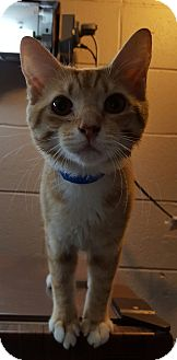 Domestic Shorthair Cat for adoption in Henderson, Kentucky - Hollifield