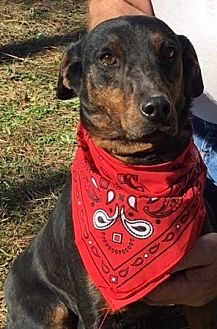 Australian Cattle Dog/Hound (Unknown Type) Mix Dog for adoption in Jefferson, Texas - Maverick