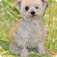 Adopt A Pet :: Darla - Covina, CA