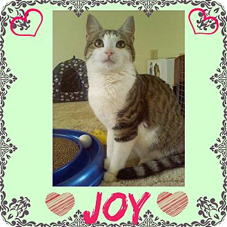 Domestic Shorthair Kitten for adoption in Jeffersonville, Indiana - Joy