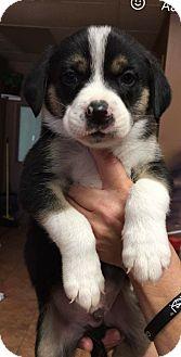 Australian Cattle Dog/Australian Shepherd Mix Puppy for adoption in Broken Arrow, Oklahoma - Adam