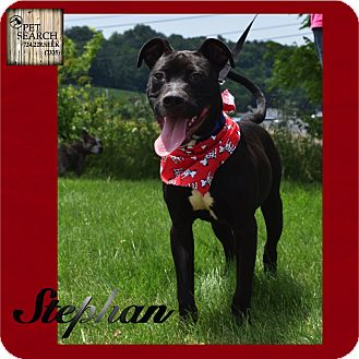 Pit Bull Terrier Mix Puppy for adoption in Washington, Pennsylvania - Stephan