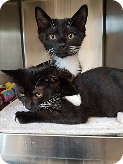 Domestic Shorthair Kitten for adoption in Indianapolis, Indiana - Carl
