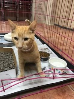 Domestic Shorthair/Domestic Shorthair Mix Cat for adoption in Miami, Florida - Archie