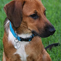 Adopt A Pet :: Winston - Mt. Prospect, IL