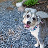 Adopt A Pet :: Cheyenne - Whitehall, PA