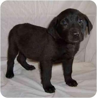 Boxer/Labrador Retriever Mix Puppy for adoption in Warsaw, Missouri - MIDNIGHT