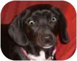 Cavalier King Charles Spaniel/Beagle Mix Dog for adoption in Proctorville, Ohio, Ohio - Abby