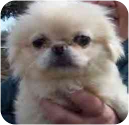 Pekingese Puppy for adoption in Cole Camp, Missouri - Sheila