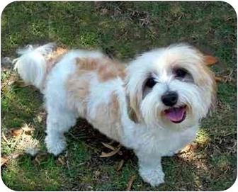 Lhasa Apso Dog for adoption in Los Angeles, California - JOE JOE