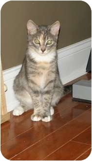 Domestic Shorthair Cat for adoption in Barnegat, New Jersey - Penny