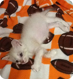 Domestic Shorthair Kitten for adoption in Orlando, Florida - Titan