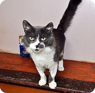 Domestic Shorthair Cat for adoption in West Hartford, Connecticut - Felipe