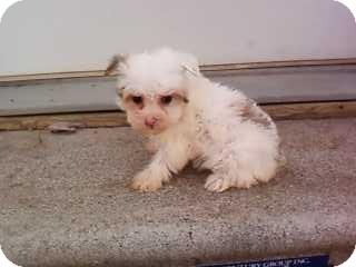 Maltese/Yorkie, Yorkshire Terrier Mix Puppy for adoption in McMinnville, Tennessee - snowball