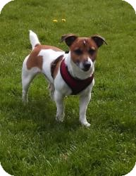 Jack Russell Terrier Dog for adoption in Mt Gretna, Pennsylvania - Jack