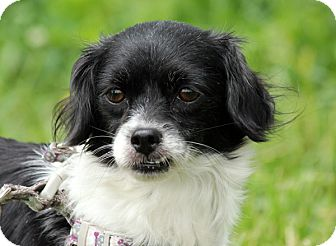Japanese Chin Mix Dog for adoption in Pennigton, New Jersey - Lily