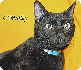 American Shorthair Cat for adoption in Jackson, Mississippi - O'Malley