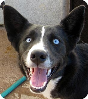 Border Collie Mix Puppy for adoption in Oakley, California - Baby Sapphire