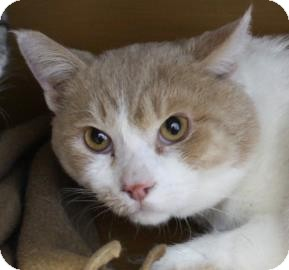 Domestic Shorthair Cat for adoption in West Des Moines, Iowa - Halo