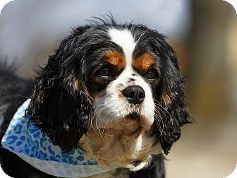 Cavalier King Charles Spaniel Dog for adoption in Ile-Perrot, Quebec - Montana