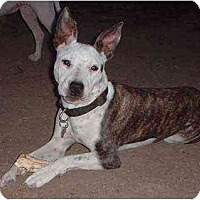 American Pit Bull Terrier Mix Dog for adoption in Bakersfield, California - Radar