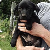 Adopt A Pet :: Velvet - Jackson, TN