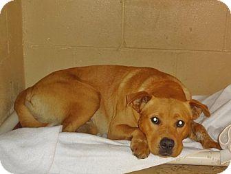 Labrador Retriever Mix Dog for adoption in Grand Ledge, Michigan - Cody