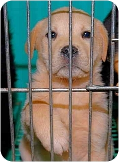 Labrador Retriever Mix Puppy for adoption in Gaffney, South Carolina - Charity